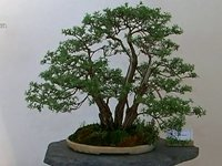 Expositie Bonsai