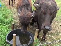 WaterBuffels in Son en Breugel